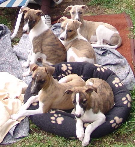 Puppies 10 Wochen alt